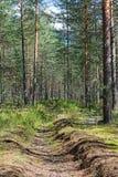 射击长得太大的垄沟在杉木森林里在一个晴天 库存照片