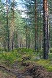 射击长得太大的垄沟在杉木森林里在一个晴天 图库摄影