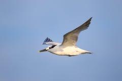 将在Paracas海湾,秘鲁上的燕鸥飞行夹在中间 免版税库存照片