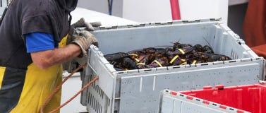 将被卖的新近地被困住的缅因龙虾在船坞 免版税图库摄影