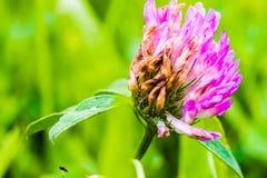 小三叶草紫罗兰色绽放细节  免版税库存照片