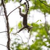 小上升在分支树的狐猴剪影 免版税库存照片