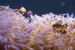 小丑在海葵的鱼游泳在水族馆 库存图片