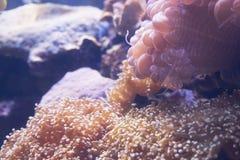 小丑在海葵的鱼游泳在水族馆 免版税库存照片