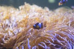 小丑在海葵的鱼游泳在水族馆 免版税库存图片