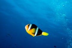 小丑在深蓝色海洋的鱼画象 免版税库存照片