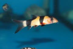小丑泥鳅(Botia macracantha)淡水水族馆鱼 免版税库存照片