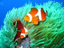 小丑热带系列的鱼 图库摄影
