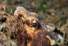 小丑蛇鳗鱼 免版税图库摄影
