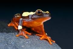 小丑雨蛙/Dendropsophus leucophyllatus 库存照片