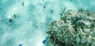 小丑鱼和蓝色切碎机雀鲷 免版税库存图片