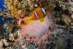 小丑鱼和银莲花属-红海 免版税库存图片