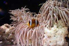 小丑鱼和银莲花属 库存图片