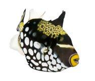 小丑鱼引金鱼 图库摄影
