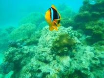 小丑鱼攻击斐济珊瑚礁 免版税库存图片