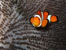 小丑鱼 免版税库存照片