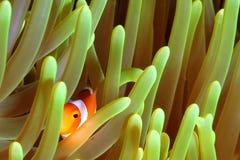 小丑鱼 图库摄影