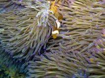 小丑鱼(Nemo)在它的自然生态环境 免版税库存图片