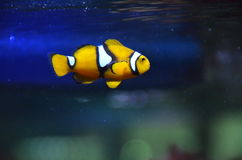 小丑鱼Nemo 免版税库存图片