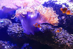 小丑Anemonefish 免版税库存照片