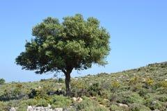 小丘橄榄树 免版税库存照片