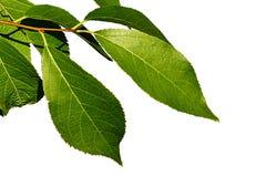 小中国传统医学树在白色背景的Eucommia Ulmoides绿色叶子  免版税库存照片