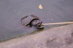 小乌龟吃着泰国 免版税图库摄影
