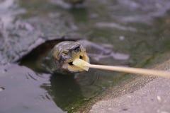 小乌龟看照相机 图库摄影