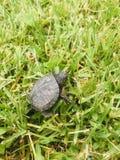 小乌龟 库存图片