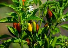 小五颜六色的胡椒在庭院里 免版税库存图片