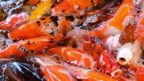 小井鲤鱼哺养的五颜六色的花梢鲤鱼鱼拥挤争夺在水池的食物,充分的HD的 股票录像