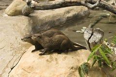 小亚洲抓的水獭 库存图片