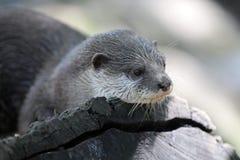 小亚洲抓的水獭 免版税库存图片