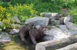 小亚洲抓的水獭 库存照片