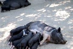 小从乳房的小猪饮用奶在动物园里 图库摄影
