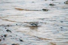 小令科之鸟耐洗在水中 库存照片