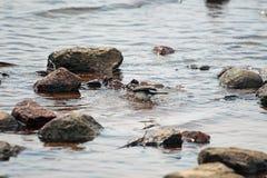 小令科之鸟耐洗在水中 免版税图库摄影