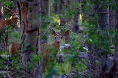 小伙子站立在有鹿角的森林里的长耳鹿在丰夏天鹅绒 免版税库存图片