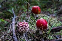 小伞形毒蕈muscaria蘑菇或 免版税库存照片