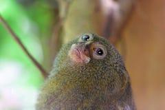 小侏儒狨 免版税库存图片