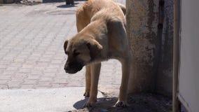 小便在墙壁上的白色和棕色街道狗 股票视频
