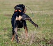 小便的狗 免版税图库摄影