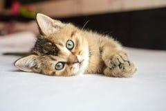 小俏丽的小猫英国金黄黄鼠滴答了作响说谎在喂 免版税库存照片