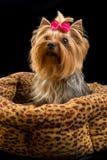 小俏丽的约克夏纯血统的动物狗 库存图片