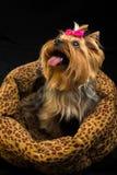 小俏丽的约克夏纯血统的动物狗 图库摄影