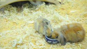 小兔子吃并且获得乐趣 股票视频