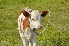 小公牛犊在草甸 免版税图库摄影
