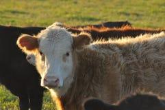 小公牛犊夜间表面被装饰的光 免版税库存图片