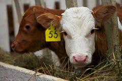 小公牛犊 免版税库存照片