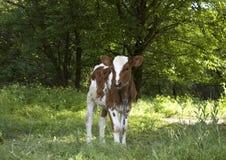 小公牛犊 免版税库存图片